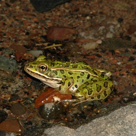 A green frog with black spots and a light-colored belly sits on a stream floor.