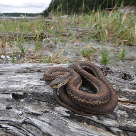 A coiled-up brown northwestern gartersnake sits on a rock
