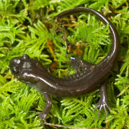 small dark brown salamander on bright green vegetation