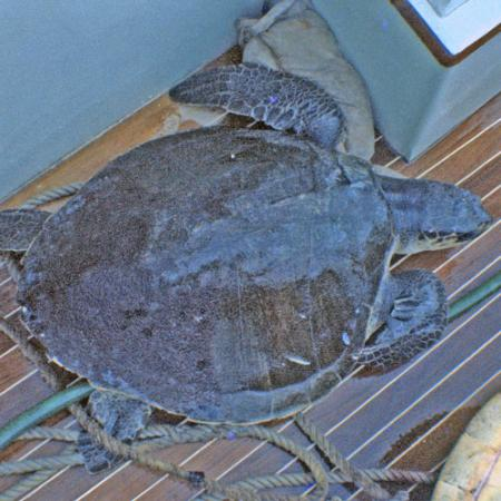 An olive ridley sea turtle on the dock of a boat