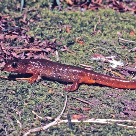 A long dark and light-red colored salamander with black eyes