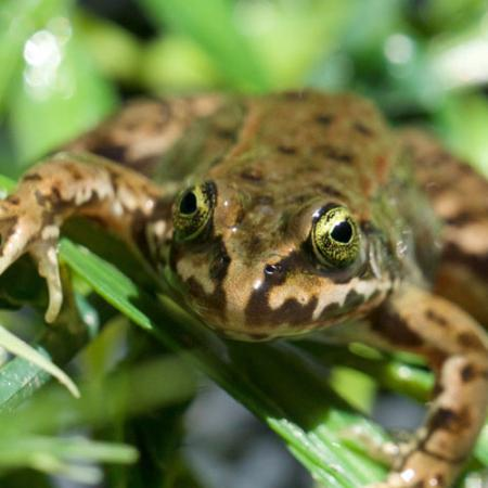 A close up view of a small shiny frog with light brown and dark brown markings on green vegetation