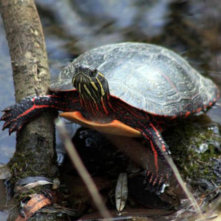 A painted turtle on a branch above water