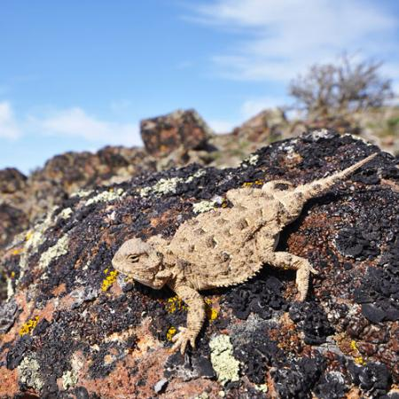 A pygmy short horned lizard sits on a rock in a desert bush habitat