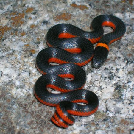 A ring-necked snake that is black on top and red on the sides, with an orange ring on its neck