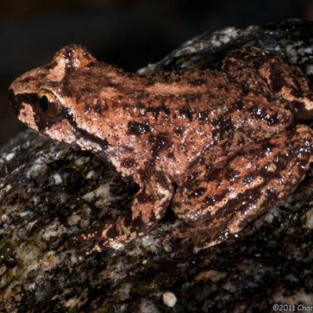 A rocky mountain tailed frog
