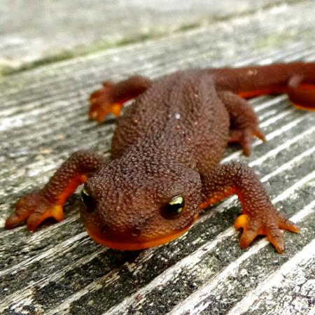 A red and orange with bumpy skin newt sits on wood