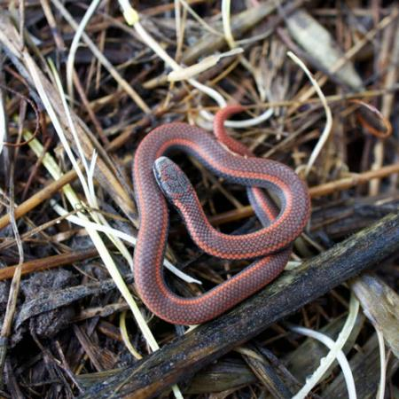 A small redish brown sharp-tailed snake is coiled up on top of twigs and branches