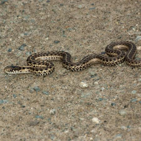 A terrestrial gartersnake slithering on the ground