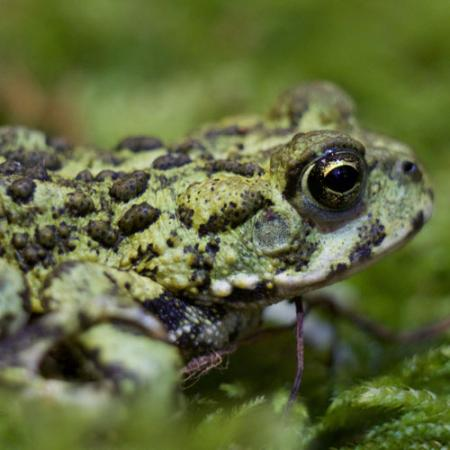 A close up view of a green toad with raised black spots on its back