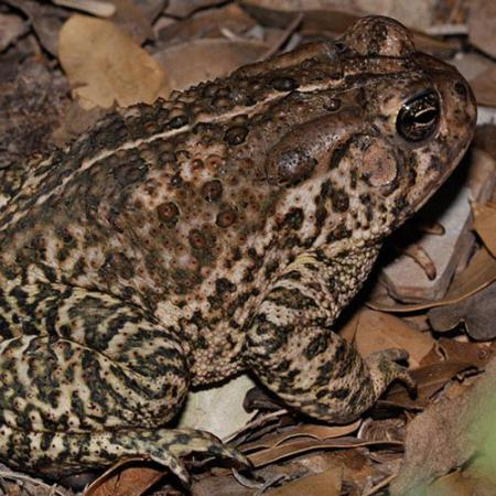 A brown frog with black splotches and bumps on its back sits on the ground that is covered by brown leaves