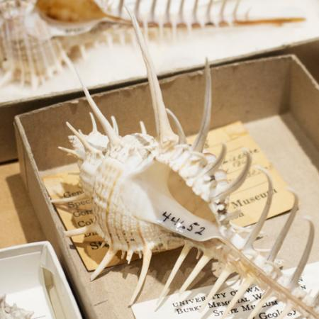 spiny-looking shell in the malacology collection