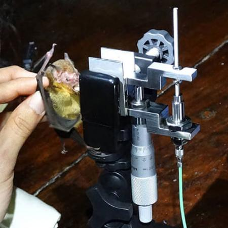 A live bat is positioned to bite down on a machine that measures its bite force
