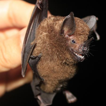 A close up view of the Carollia castanea bat