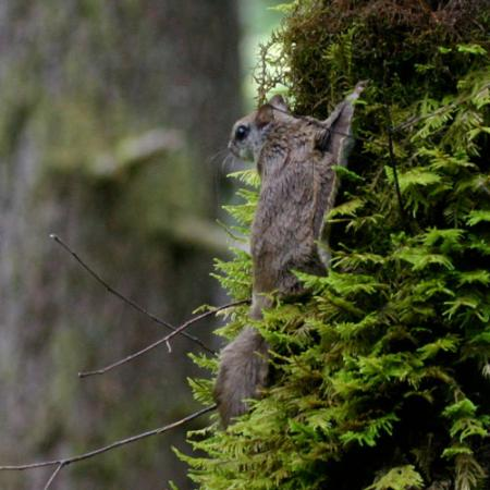 a flying squirrel sits on a tree in a dense forest