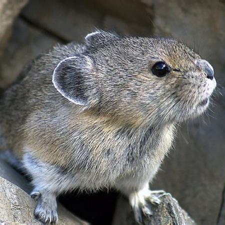 A pika by Chris & Lara Pawluk @flickr.com