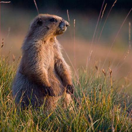 a marmot stands on its hind legs in a prairie