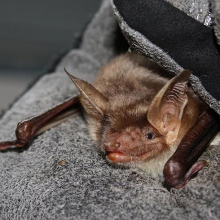 A close up view of a bat with pointy ears being held in a hand