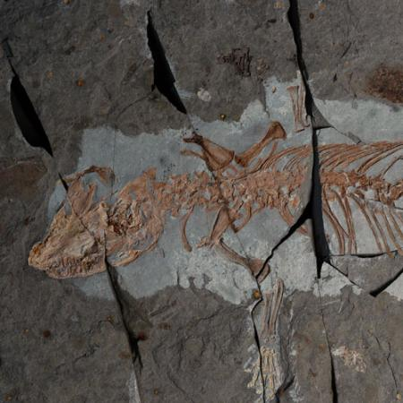 fossilized early mammal in rock bed