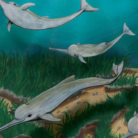 An illustration of the new species of dolphin