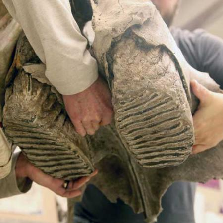 Close up on the teeth of a Columbian mammoth as two fossil preparators carry the upper jaw
