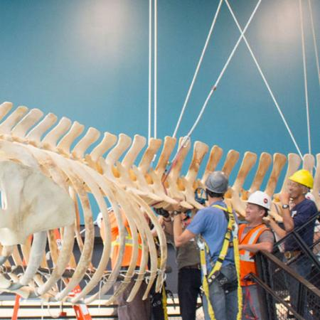 a team of people wear hardhats and lift up a beaked whale hanging from the ceiling in the new burke