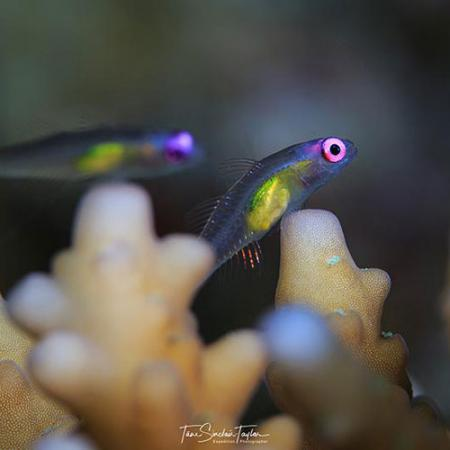 two small fish with large eyes swim near a reef