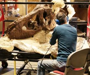 A man sits next to the T. rex skull with his back to the camera while working on the massive fossil