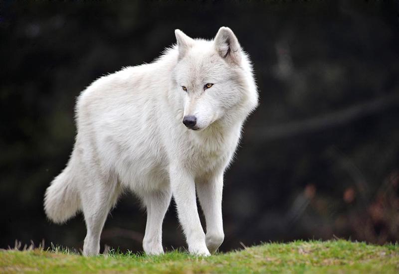 Ayla and Theron's Bio Bart_male_gray_wolf